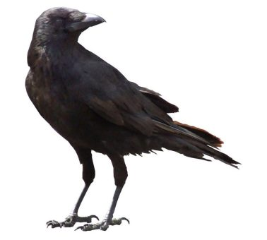 cropped-crow-cut-out1.jpg